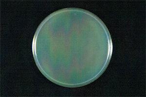 大腸菌(血液型O157:H7、ベロ毒素Ⅰ型およびⅡ型産生株)に次亜塩素酸ナトリウム溶液接種15秒後の試験結果